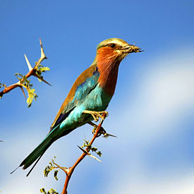 Lilac-breasted Roller with Grasshopper on Acacia tree in Botswana (small).jpg