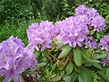 Lilac Rhododendrons (8202285203).jpg