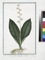 Lilium Convallium latifolium, flore pleno, variegato - Fioraliso, o Mughetto - Muguet (NYPL b14444147-1124934).tiff