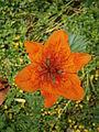 Lilium bulbiferum flower02.jpg