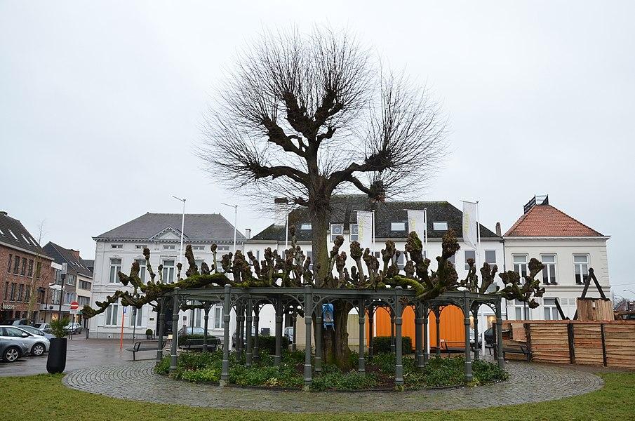 Lindeboom op Grote Markt, Westerlo