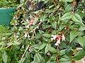 Linnaea sp. Peter Catt - Flickr - peganum (1).jpg