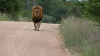 Файл:Lion (Panthera leo) walking on the road.webm