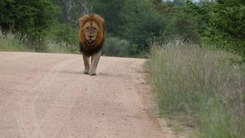 Податотека:Lion (Panthera leo) walking on the road.webm
