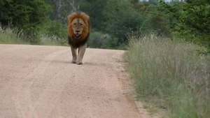 File:Lion (Panthera leo) walking on the road.webm