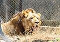 Lion side view.jpg