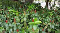 Lipstick plant 02.jpg