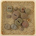 Lithops Collection - Top view - Feb. 2011 - (2).jpg