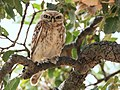 Little owl (Athene noctua).jpg