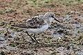 Little stint, Calidris minuta (Erolia minuta), at Marievale Nature Reserve, Gauteng, South Africa (21411945429).jpg