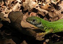 Lizard on leaf.jpg