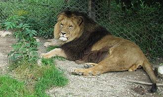 Tiger versus lion - A lion (possibly Panthera leo leo) at Ljubljana Zoo, Slovenia