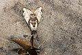 Locharna strigipennis (39127667490).jpg
