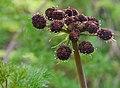 Lomatium dissectum var. dissectum flowering 4.jpg