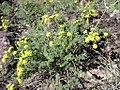 Lomatium grayi plant-3-11-05.jpg