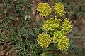 Lomatium mohavense 7798.JPG