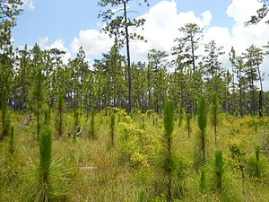 Longleaf pine ecosystem - Naturally regenerated longleaf pines in DeSoto National Forest, Mississippi