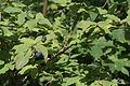 Lonicera nigra (Schwarz-Heckenkirsche) IMG 6312.JPG