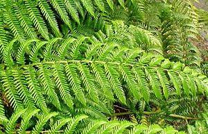 Lophosoria - Image: Lophosoria quadripinnata pinna