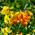 Lotus corniculatus Kiev2.JPG