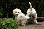 Un perrito de Bichon y un parson-Russell-Terrier están buscando un poco de agua