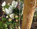 Luma apiculata, flowers and bark (8650862598).jpg