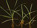 Luronium natans stoloniferous.jpg