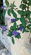 Lycianthes rantonnetii - Μπλε σολάνο.jpg