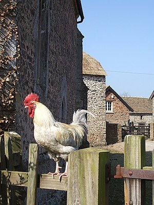 Rooster - Cockerel next to the medieval chapel of Lynch