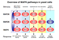 MAPK-pathway-yeast.png