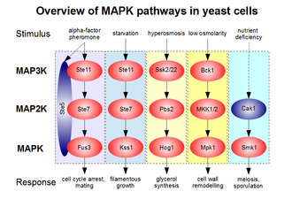 Mitogen-activated protein kinase - Overview of MAPK pathways in yeast. Non-canonical components of the five known modules (mating, filamentation, hyperosmosis, cell wall integrity, sporulation pathways) are colored in blue.