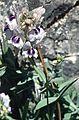 MaLinariaVerticillata1.jpg