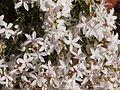 Macgregoria racemigera flowers.jpg