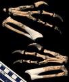 Machairasaurus leptorhynchos by Nick Longrich.png