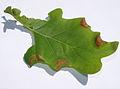 Macrodiplosis dryobia.jpg