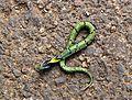 Macropisthodon plumbicolor juvenile2.jpg