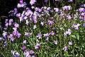 Madeira, Palheiro Gardens - Heterocentron roseum (Mexikanische Hochzeitsblume) IMG 2251.JPG