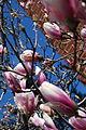 Magnolia Flowers.jpg