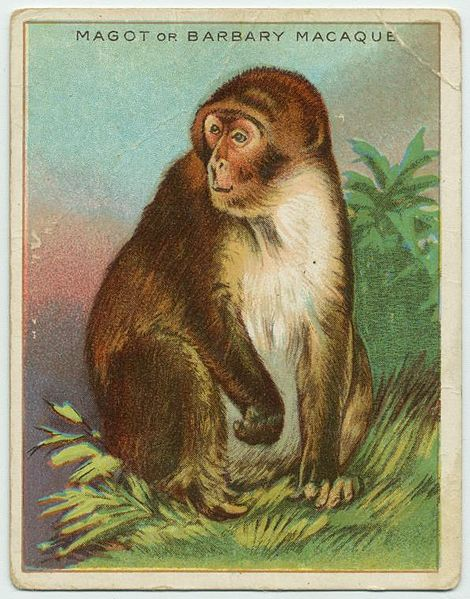 File:Magot or Barbary Macaque.jpg