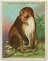 Magot or Barbary Macaque.jpg