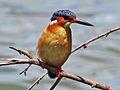 Malagasy Kingfisher RWD2.jpg