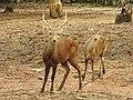 Male and young Bawean deer (Axis kuhli) is an endemic fauna on Bawean Island. 02.jpg