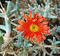 Malephora crocea-- the Copper Iceplant (26011686715).jpg