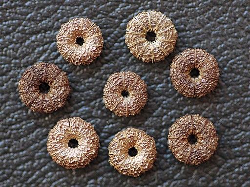 Malva sylvestris seeds