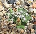 Mammillaria coahuilensis 04.jpg