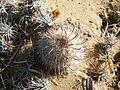 Mammillaria hutchisoniana (5782060865).jpg