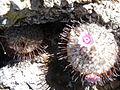 Mammillaria perezdelarosae (5725995289).jpg