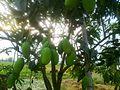 Mango Tree in Nepal.jpg