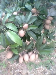 Manilkara zapota fruits.jpg