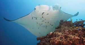 Cleaning station - A reef manta ray at a cleaning station, maintaining a near stationary position atop a coral patch for several minutes while being cleaned by cleaner fish.